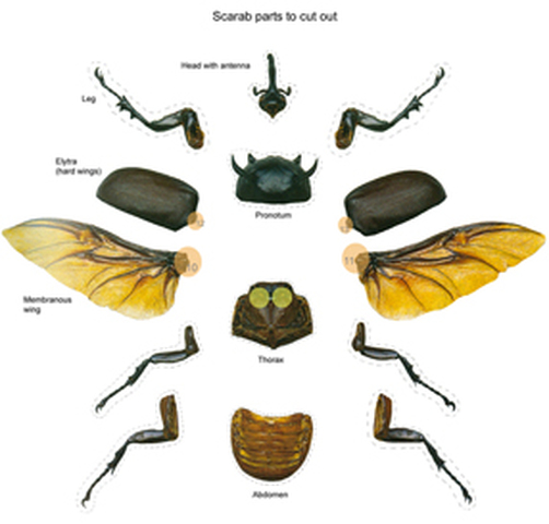 EXTERNAL Anatomy of a rhino beetleRhinoceros Beetle Life Cycle